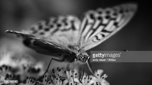 monochrome close-up of butterfly - andy dauer stock pictures, royalty-free photos & images