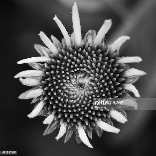 Monochrome coneflower