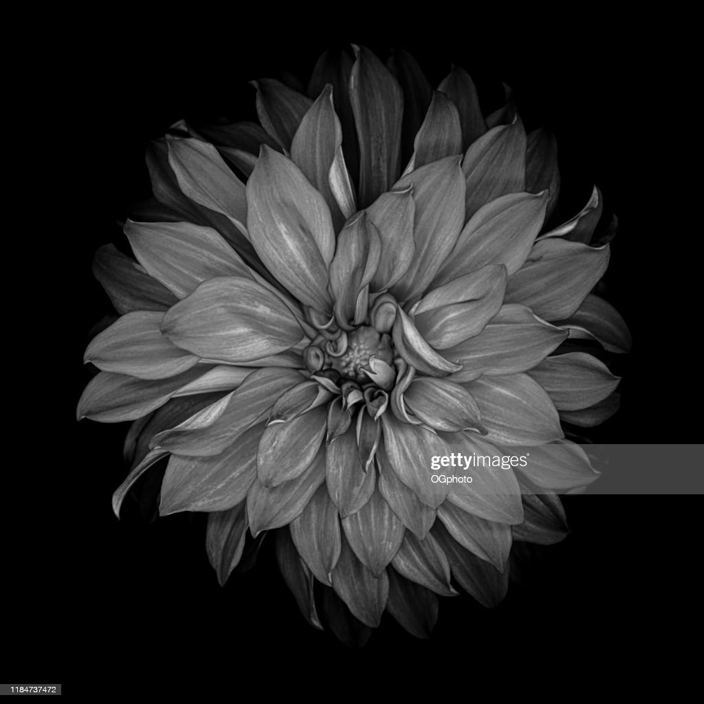 Monochrome dahlia isolated on a black background : Stock Photo