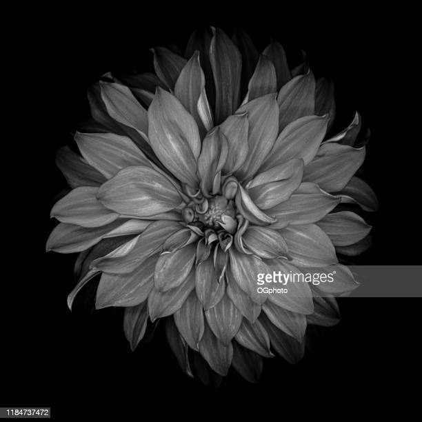 monochrome dahlia isolated on a black background - ogphoto stock photos and pictures