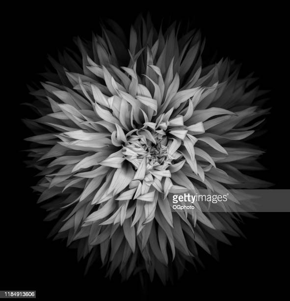 monochrome dahlia isolated on a black background - ogphoto stock pictures, royalty-free photos & images