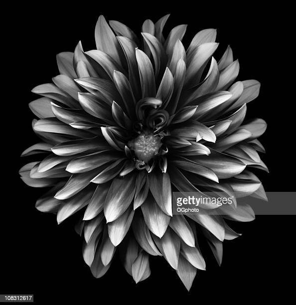 a monochrome dahlia on a black background - zwart wit stockfoto's en -beelden