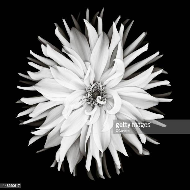 6 621 White Flower Black Background Photos And Premium High Res Pictures Getty Images