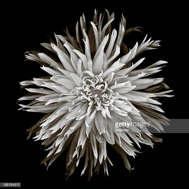 monochrome dahlia - ogphoto stock pictures, royalty-free photos & images