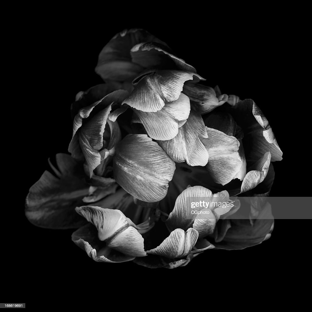 Monochrome double tulip isolated against a black background : Stock Photo