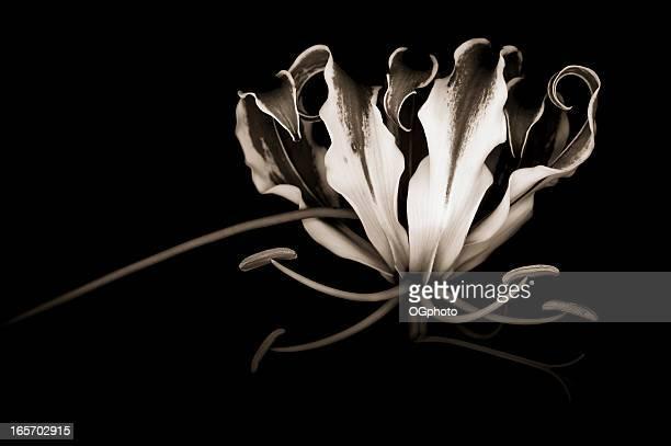 Monochrome Glory Lily