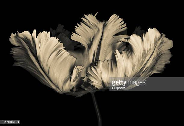monochrome parrot tulip - ogphoto stock photos and pictures