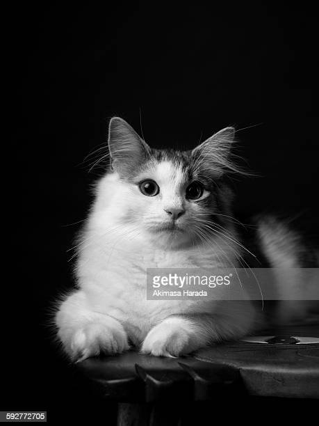 monochrome portrait of a young cat - norwegian forest cat stock photos and pictures