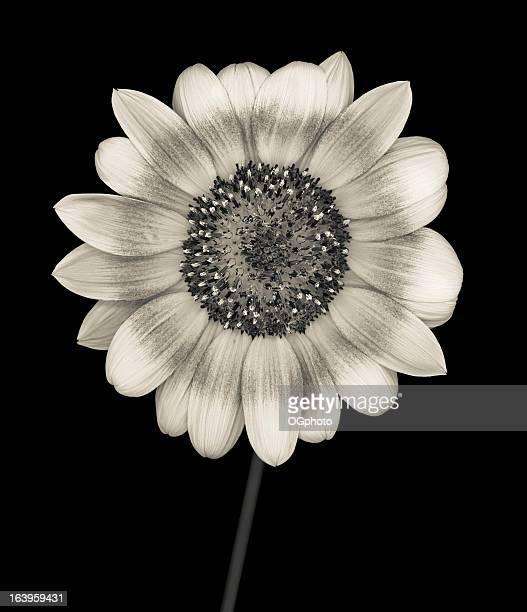 Monochrome sunflower isolated on black