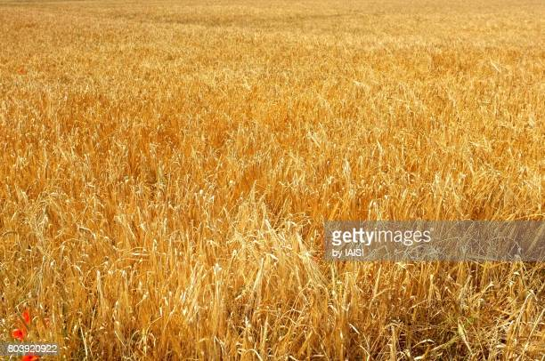 Monochrome, the gold colored field in summer