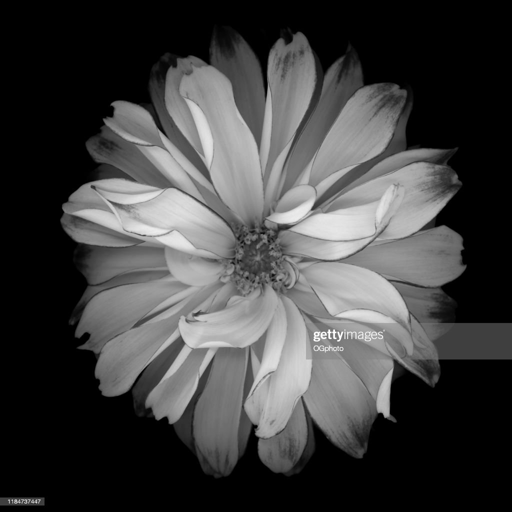 Monochrome white dahlia isolated against a black background : Stock Photo
