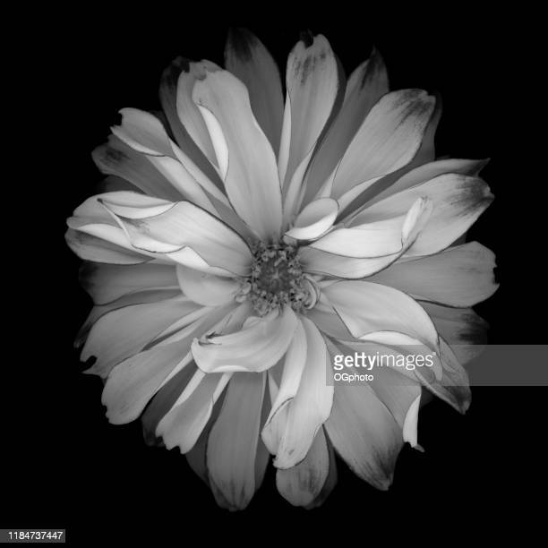monochrome white dahlia isolated against a black background - ogphoto stock photos and pictures