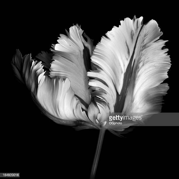 monocrhome parrot tulip - ogphoto stock photos and pictures