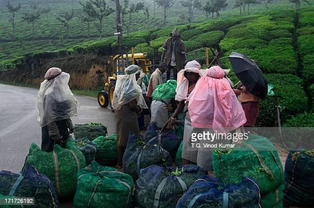 Rain in Tea plantations Munnar Kerala