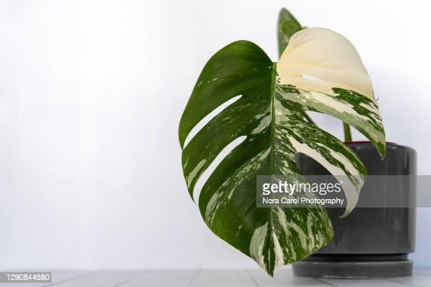 monstera deliciosa albo borsigiana variegated background with copy space - bicolore colore foto e immagini stock