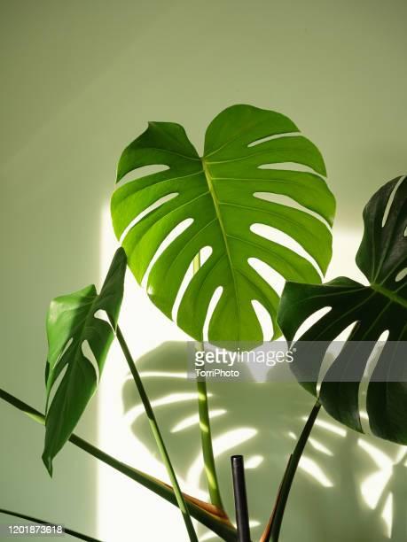 monstera deliciosa houseplant in bright sunlight - fensterblatt aroid stock-fotos und bilder