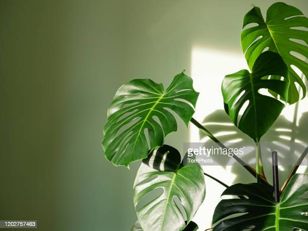 monstera deliciosa houseplant in bright sunlight - tropical bush stock pictures, royalty-free photos & images