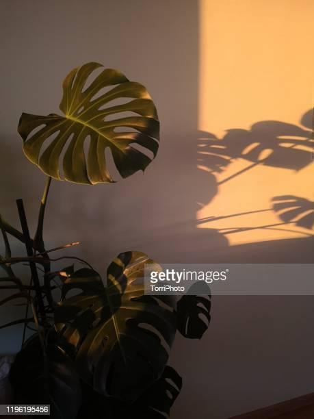 monstera deliciosa houseplant in bright sunset light - fensterblatt aroid stock-fotos und bilder