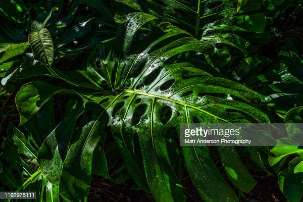 monstera deliciosa or swiss cheese plant #1 - sustainable development goals stock pictures, royalty-free photos & images