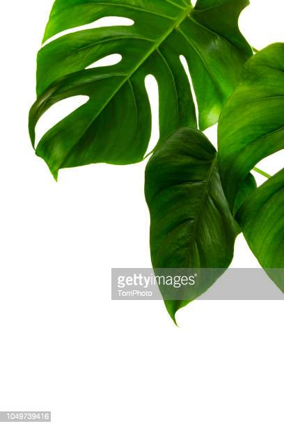 monstera deliciosa palm house plant isolated on white - clima tropicale foto e immagini stock