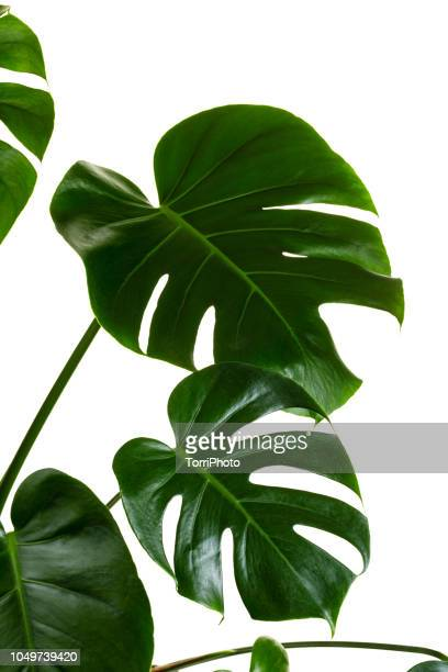 monstera deliciosa palm house plant isolated on white - tropical bush stock pictures, royalty-free photos & images
