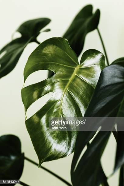Monstera deliciosa palm house plant