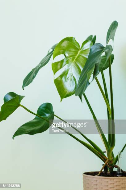 monstera deliciosa palm house plant - bush stock pictures, royalty-free photos & images