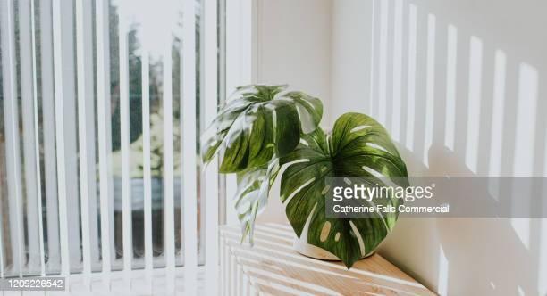 monstera deliciosa plant - lighting equipment stock pictures, royalty-free photos & images