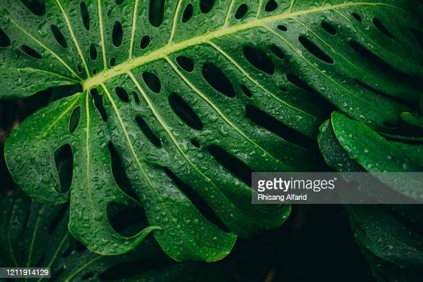 monstera deliciosa plant - tropical bush stock pictures, royalty-free photos & images