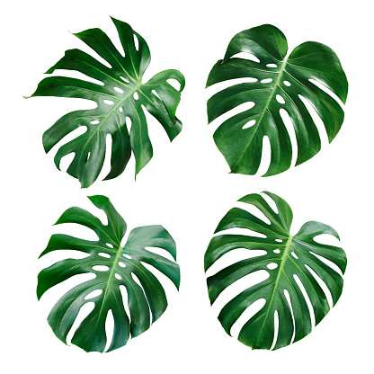 Monstera deliciosa tropical leaf isolated on white background 937598676