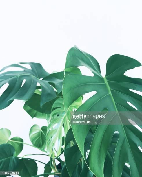 monstera huge leaves on white background - clima tropicale foto e immagini stock