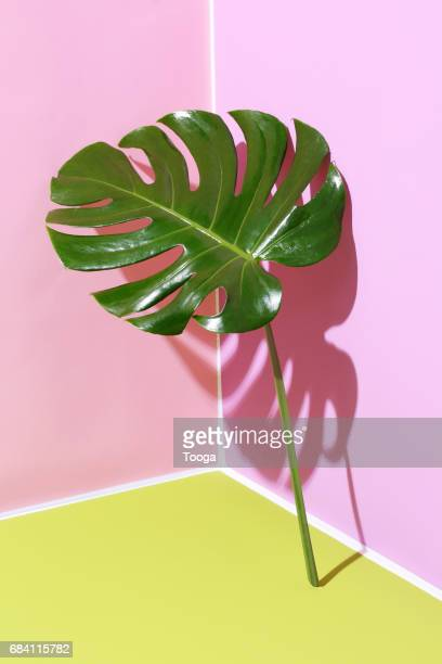 monstera leaf leaning on graphic background - nature morte photos et images de collection