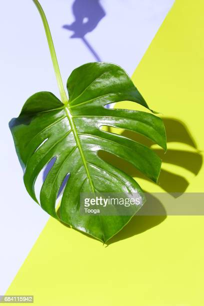 Monstera leaf on graphic background