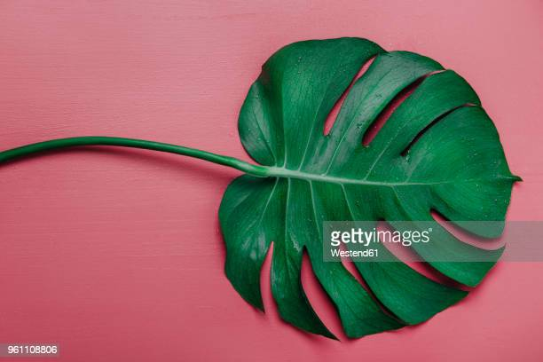 monstera leaf on pink background, monstera deliciosa - tropical bush stock photos and pictures