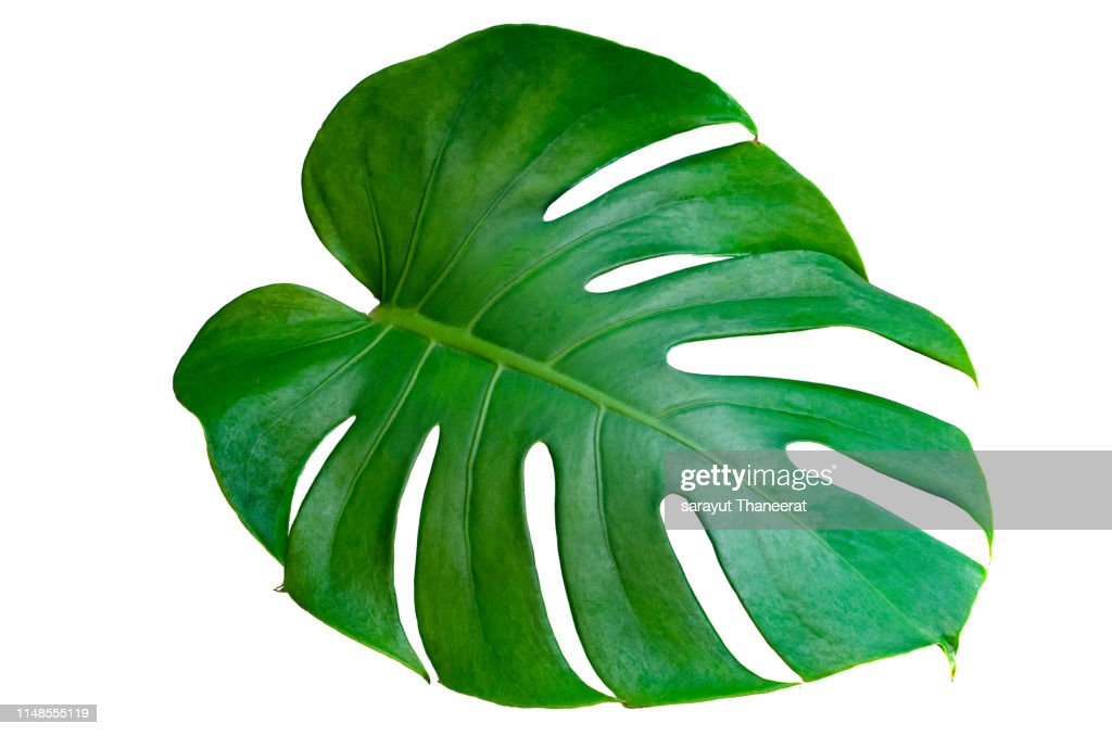 Monstera leaves leaves with Isolate on white background Leaves on white : Stock Photo