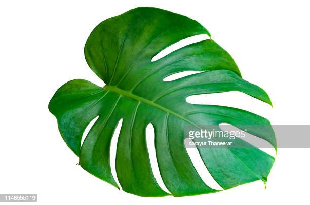monstera leaves leaves with isolate on white background leaves on white - blatt pflanzenbestandteile stock-fotos und bilder