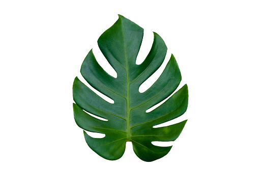 Monstera leaves leaves with Isolate on white background Leaves on white 898773426
