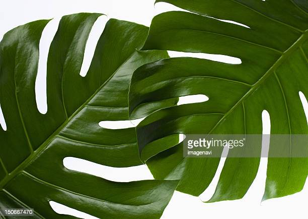Monstera leaves