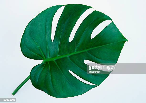 monstera - tropical bush stock photos and pictures