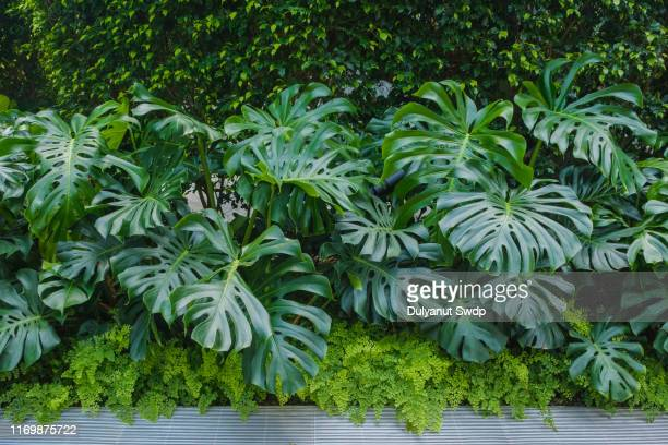monstera plant - tropical bush stock pictures, royalty-free photos & images