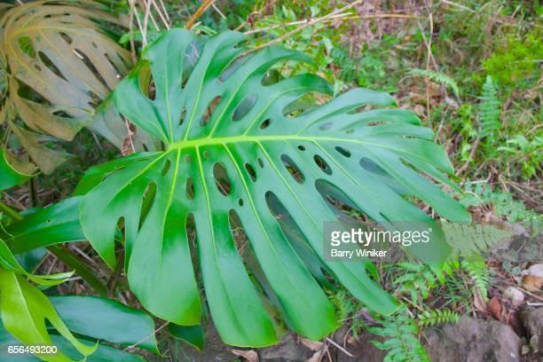 Monstera shrub growing in Upcountry Maui, Hawaii