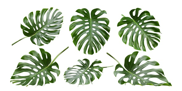 Monstera tropical leaves , Swiss Cheese Plant, patterns 1094646760