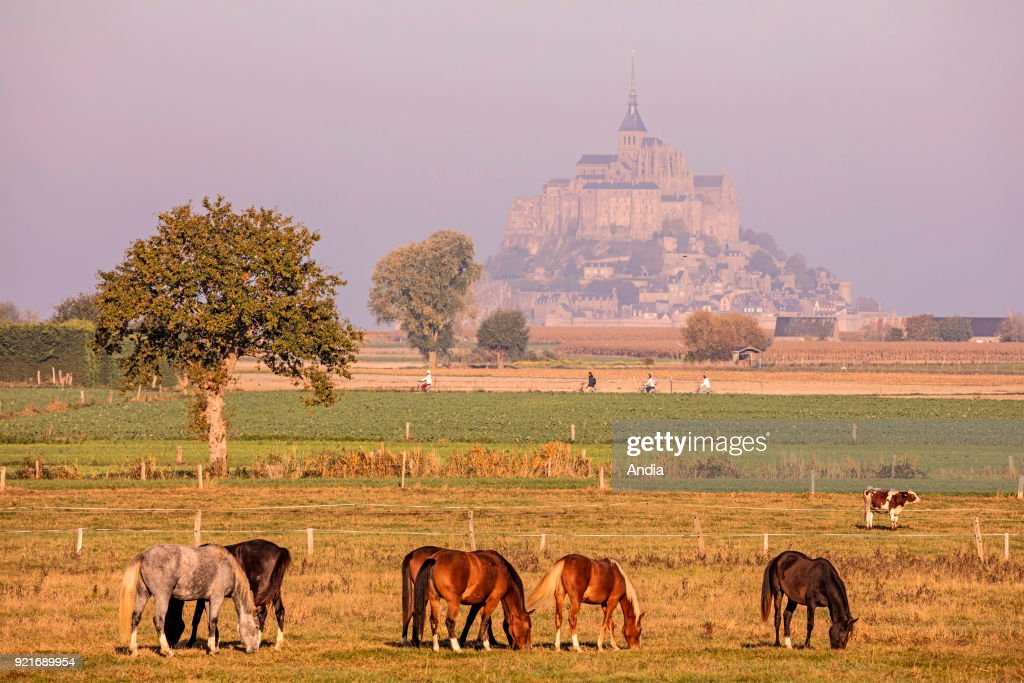 Mont Saint-Michel (Saint Michael's Mount), Normandy, north-western France: horses in the morning with the mount in the background.