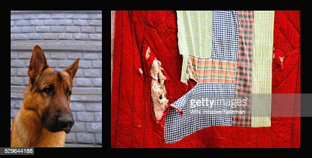 montage image of a dog and a torn blanket - patchwork stock pictures, royalty-free photos & images