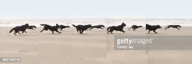 Montage image of Female black flatcoated retriever and black male whippet running along the beach.