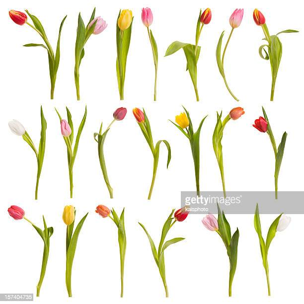 Montage of tulips