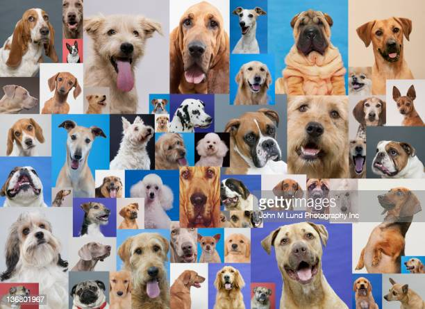 montage of various dogs - large group of animals stock pictures, royalty-free photos & images