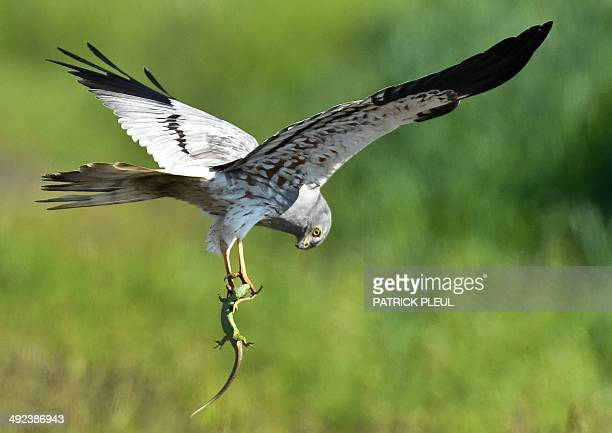 A Montagu's Harrier carries a lizard at a meadow near Mallnow eastern Germany on May 20 2014 In western Europe breeding pairs of the endangered...