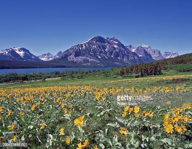 usa, montana, glacier national park, flowers and st. mary lake - mary lake stock photos and pictures