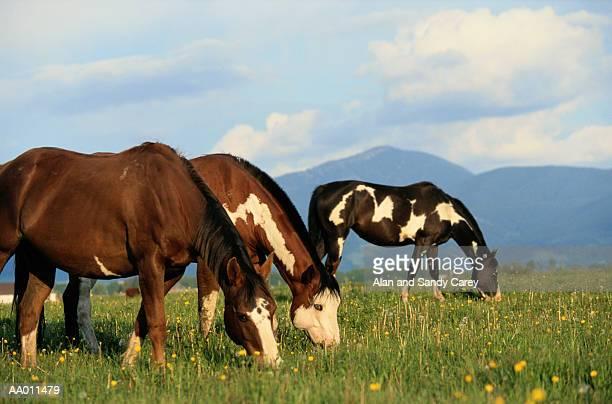 USA, Montana, horses grazing in fielld